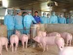 Dịch tả lợn lan ra 9 tỉnh, giá lợn hơi giảm mạnh-3
