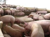 Dịch tả lợn lan ra 9 tỉnh, giá lợn hơi giảm mạnh
