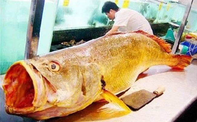Những con cá nhà giàu có giá gấp chục lần siêu xe-6