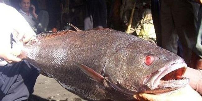 Những con cá nhà giàu có giá gấp chục lần siêu xe-7