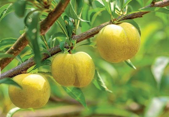Trồng loại quả quý tộc có đầy ở Việt Nam, đếm tiền không ngơi tay-1