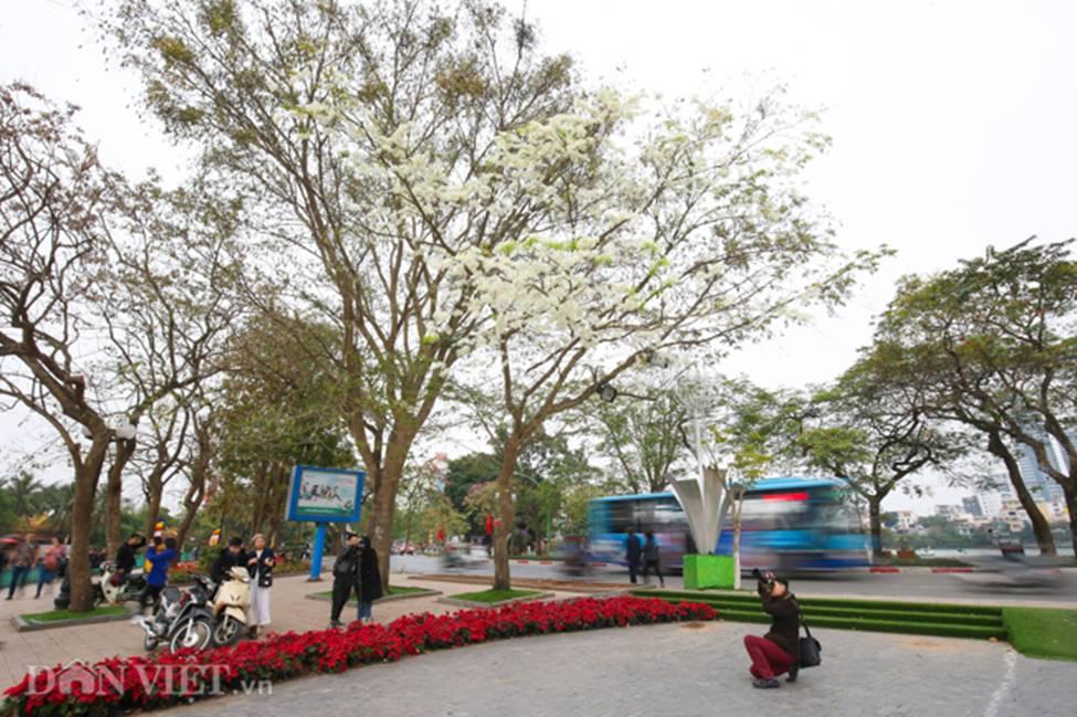 Ảnh: Tháng 3 - mùa hoa sưa nở trắng trời Hà Nội-1