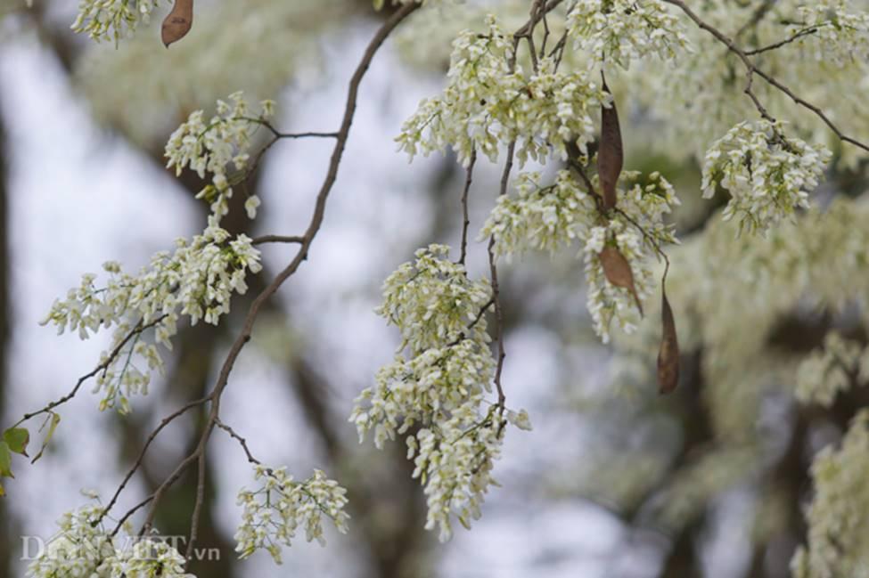 Ảnh: Tháng 3 - mùa hoa sưa nở trắng trời Hà Nội-3