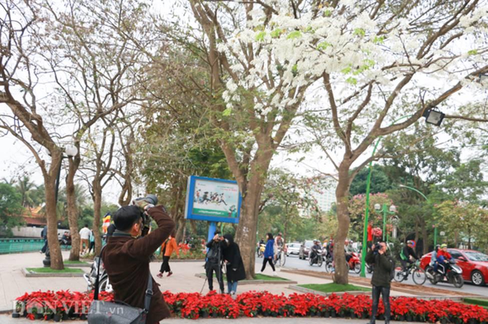 Ảnh: Tháng 3 - mùa hoa sưa nở trắng trời Hà Nội-7