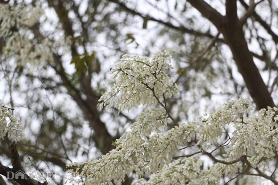 Ảnh: Tháng 3 - mùa hoa sưa nở trắng trời Hà Nội-10