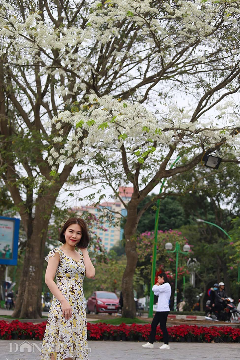Ảnh: Tháng 3 - mùa hoa sưa nở trắng trời Hà Nội-12