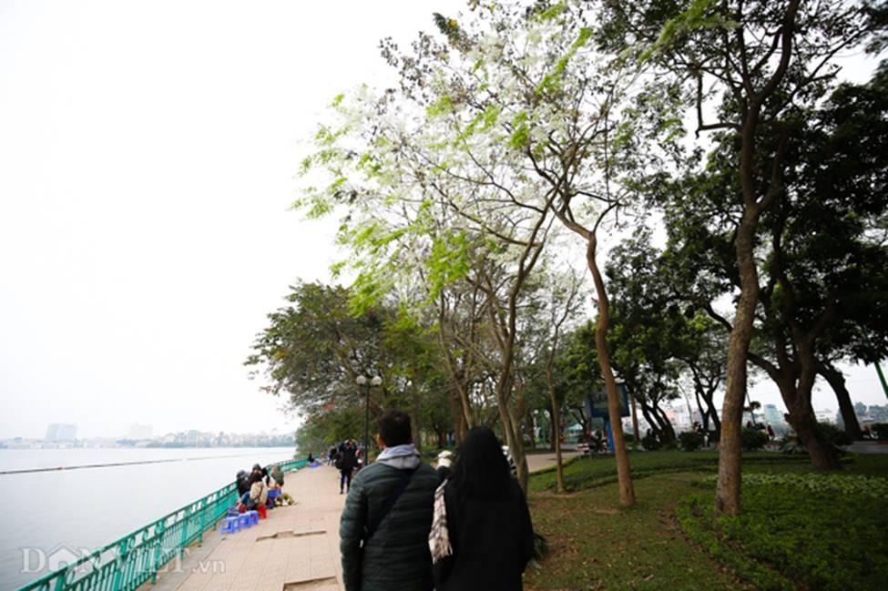Ảnh: Tháng 3 - mùa hoa sưa nở trắng trời Hà Nội-8