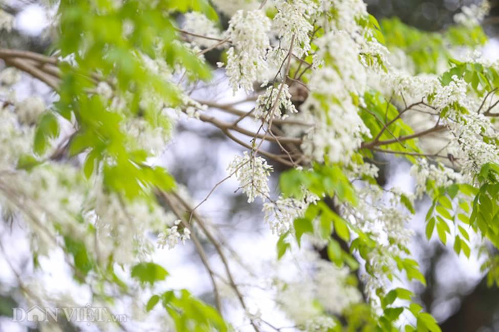 Ảnh: Tháng 3 - mùa hoa sưa nở trắng trời Hà Nội-9