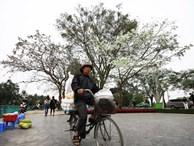Ảnh: Tháng 3 - mùa hoa sưa nở trắng trời Hà Nội