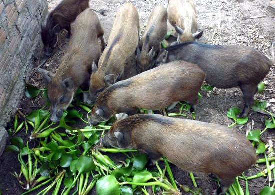Quy định lạ đời mới ra: Bèo tây, rau chuối… không được cho lợn ăn-1