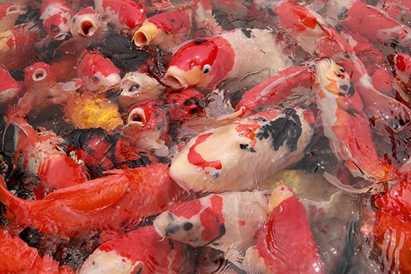 Đại gia Thái Nguyên sang tận Nhật Bản sắm đàn cá bạc tỷ về chơi-11