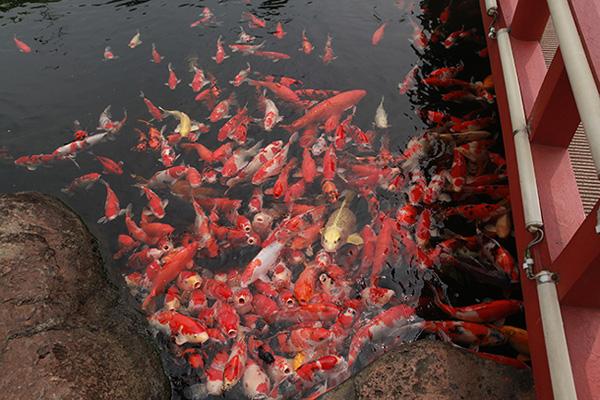 Đại gia Thái Nguyên sang tận Nhật Bản sắm đàn cá bạc tỷ về chơi-9