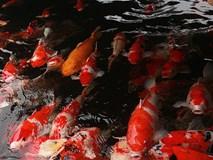 Đại gia Thái Nguyên sang tận Nhật Bản sắm đàn cá bạc tỷ về chơi