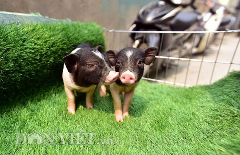 Ngắm lợn mini tiền triệu giới trẻ Hà thành săn lùng làm thú cưng-1