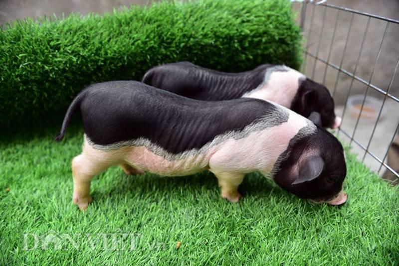 Ngắm lợn mini tiền triệu giới trẻ Hà thành săn lùng làm thú cưng-2