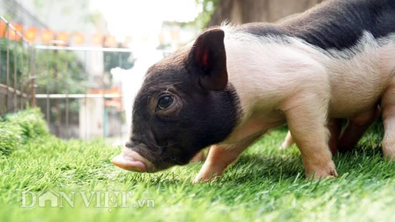 Ngắm lợn mini tiền triệu giới trẻ Hà thành săn lùng làm thú cưng-3
