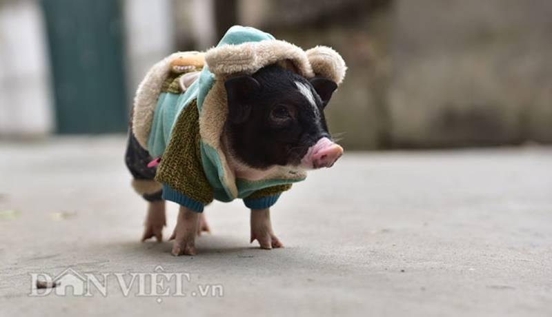 Ngắm lợn mini tiền triệu giới trẻ Hà thành săn lùng làm thú cưng-10