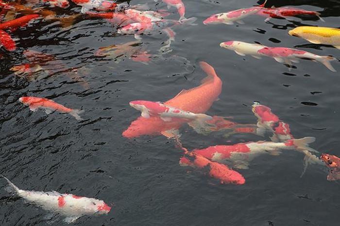 Khu vườn Nhật và đàn cá Koi 10 tỷ của đại gia Thái Nguyên-10