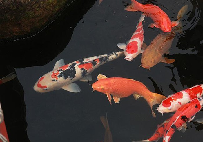 Khu vườn Nhật và đàn cá Koi 10 tỷ của đại gia Thái Nguyên-14