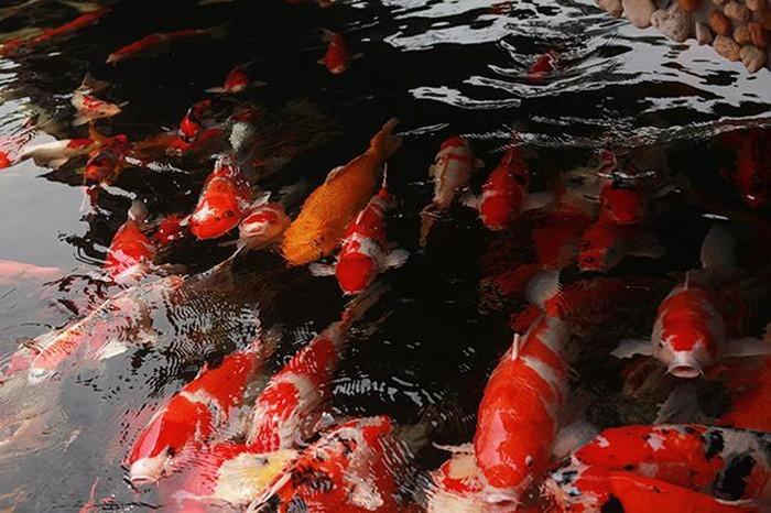 Khu vườn Nhật và đàn cá Koi 10 tỷ của đại gia Thái Nguyên-3