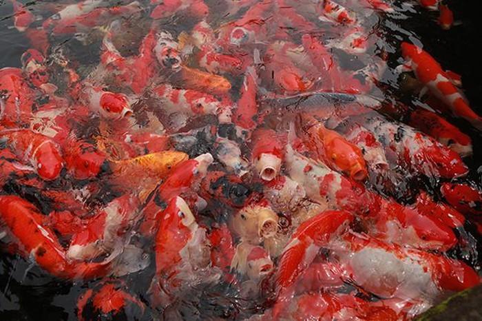 Khu vườn Nhật và đàn cá Koi 10 tỷ của đại gia Thái Nguyên-4