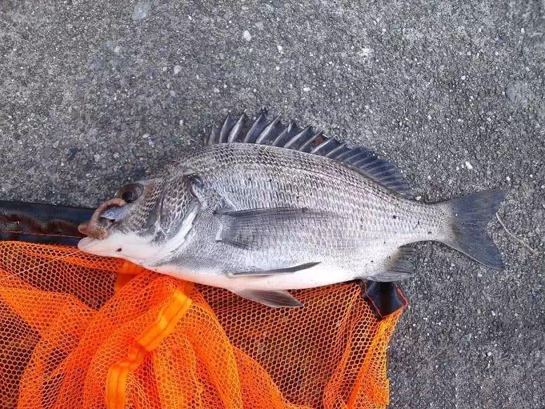 Loài cá biển có ở Việt Nam được bán với giá 1 triệu nửa kg ở Trung Quốc-1