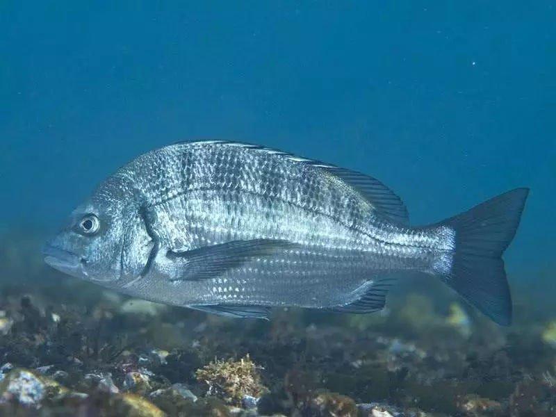 Loài cá biển có ở Việt Nam được bán với giá 1 triệu nửa kg ở Trung Quốc-2