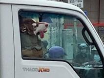 Hình ảnh chú chó say xe, thò đầu qua cửa sổ khiến người đi đường phải ngoái lại nhìn