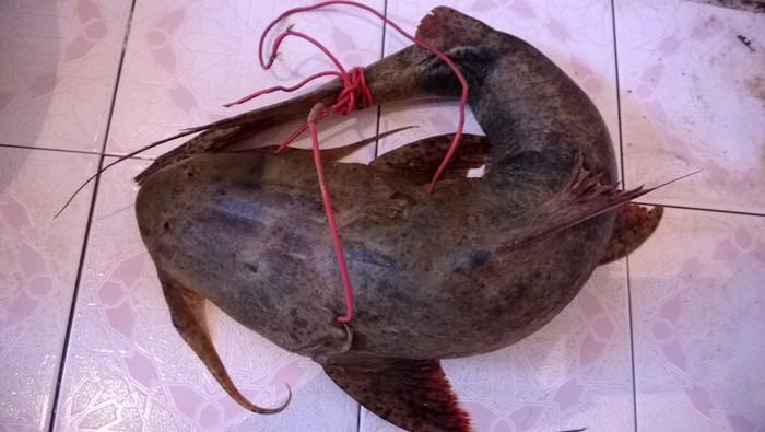 Tứ độc đặc sản cá cực hiếm ở miền núi, có tiền cũng khó mua-6
