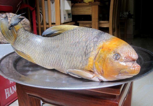 5 loài cá cực hiếm được ví là ngũ quý hà thủy, có tiền cũng khó mua-1