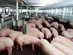 Việt Nam dịch bệnh thảm khốc chưa từng có, đông đá thịt lợn để dân ăn dần-3