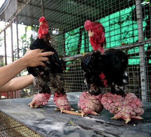 Ăn cỗ với cặp chân gà hơn chục triệu, điều chỉ có ở Việt Nam-4