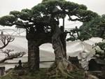 Kiệt tác sanh cổ thác đổ ngồi đá hiếm có của đại gia Phú Thọ-18