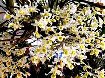 Lạc lối giữa rừng phong lan miền sơn cước giá cả trăm triệu đồng/giò