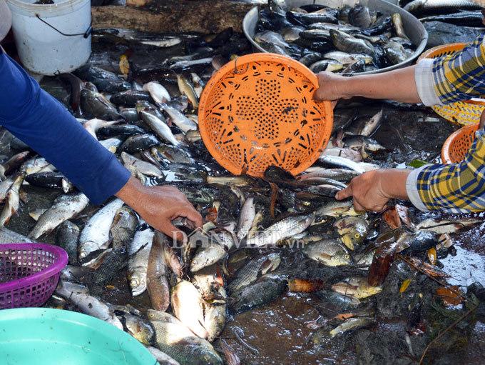 Cây bí ẩn, thả xuống nước hàng trăm kg cá trúng thuốc tha hồ vớt-12