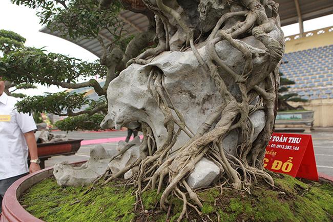 Kiệt tác sanh cổ thác đổ ngồi đá hiếm có của đại gia Phú Thọ-10