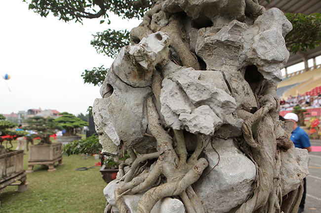 Kiệt tác sanh cổ thác đổ ngồi đá hiếm có của đại gia Phú Thọ-11