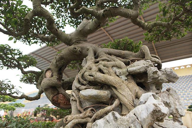 Kiệt tác sanh cổ thác đổ ngồi đá hiếm có của đại gia Phú Thọ-12