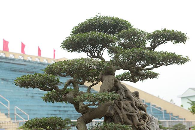 Kiệt tác sanh cổ thác đổ ngồi đá hiếm có của đại gia Phú Thọ-13