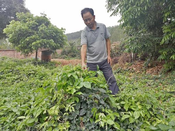 Thực hư sâm tiên núi Dành quý tới mức chữa mù lòa, giá 2 triệu/kg-1