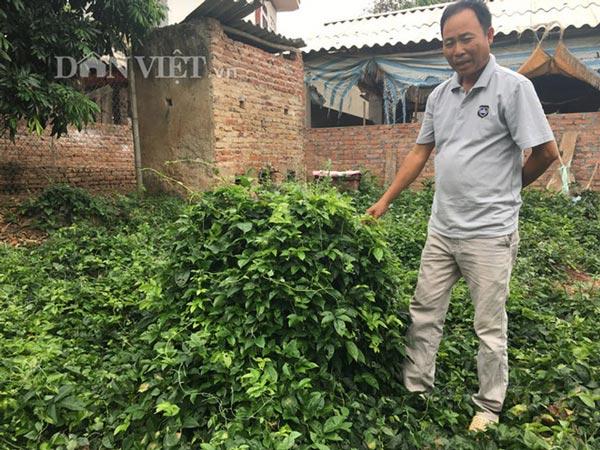 Thực hư sâm tiên núi Dành quý tới mức chữa mù lòa, giá 2 triệu/kg-4