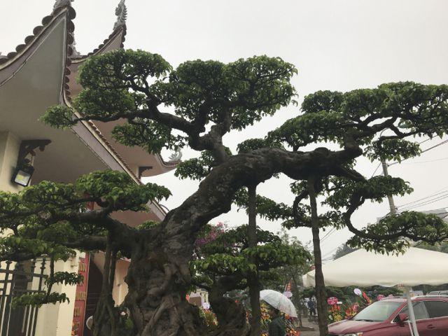 Chiêm ngưỡng cây sanh hàng trăm tuổi có giá triệu đô ở Hưng Yên-10