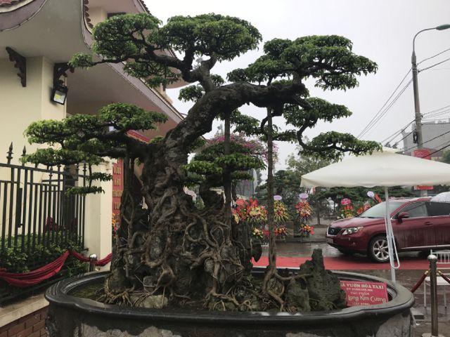 Chiêm ngưỡng cây sanh hàng trăm tuổi có giá triệu đô ở Hưng Yên-13
