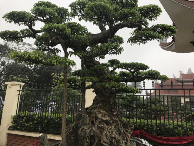 Chiêm ngưỡng cây sanh hàng trăm tuổi có giá triệu đô ở Hưng Yên-2