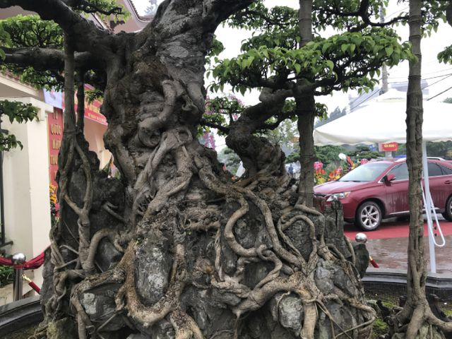 Chiêm ngưỡng cây sanh hàng trăm tuổi có giá triệu đô ở Hưng Yên-3