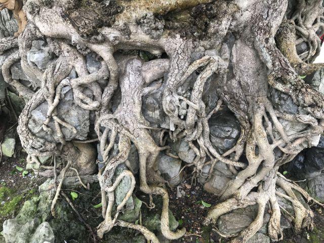 Chiêm ngưỡng cây sanh hàng trăm tuổi có giá triệu đô ở Hưng Yên-5