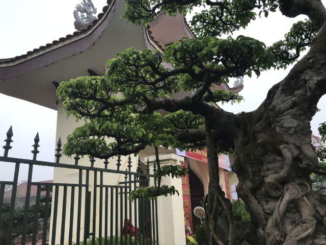 Chiêm ngưỡng cây sanh hàng trăm tuổi có giá triệu đô ở Hưng Yên-7