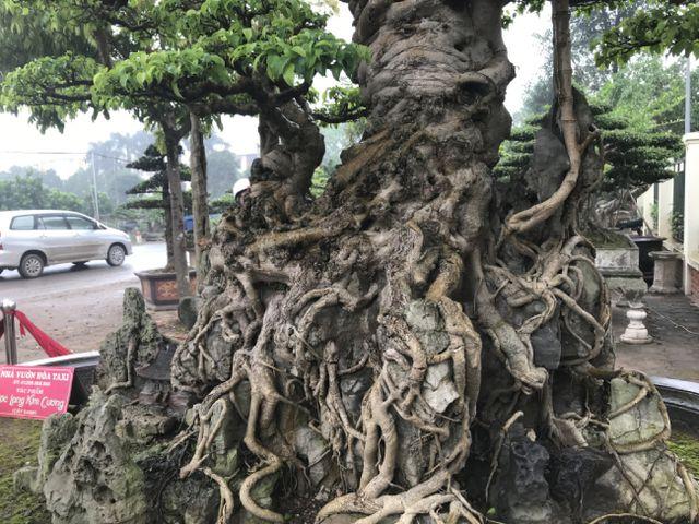 Chiêm ngưỡng cây sanh hàng trăm tuổi có giá triệu đô ở Hưng Yên-15