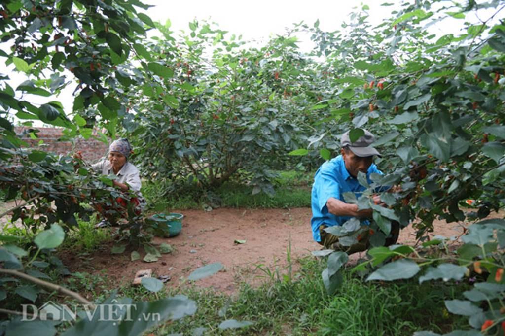 Tất bật hái dâu, nông dân kiếm chục triệu 1 tháng-4