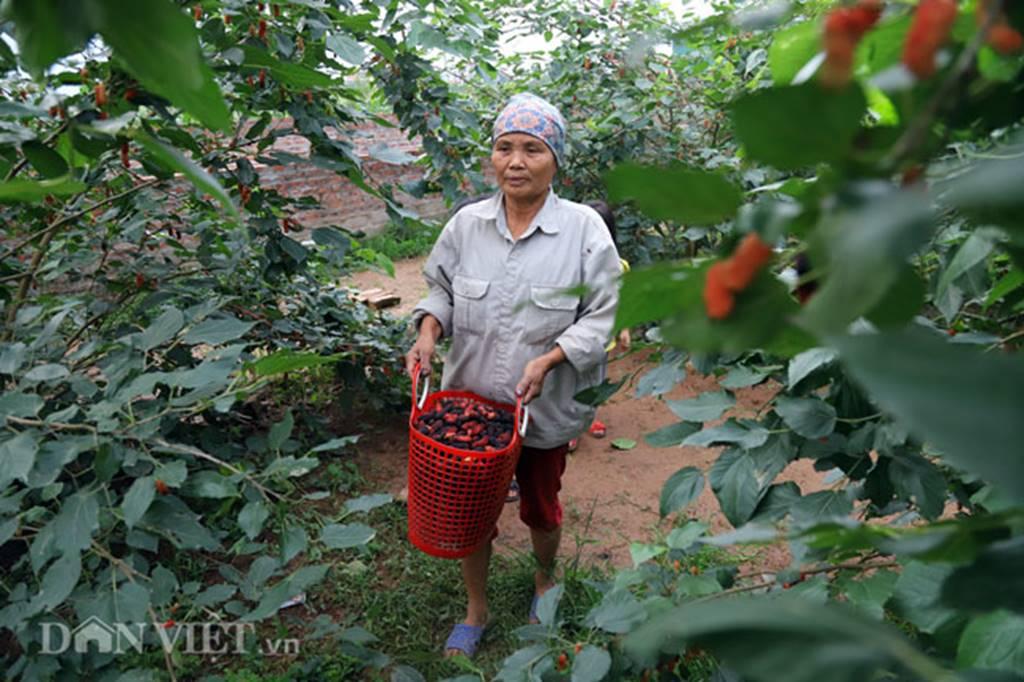 Tất bật hái dâu, nông dân kiếm chục triệu 1 tháng-7